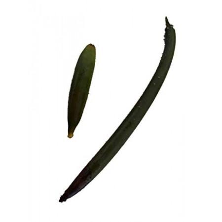 Rote Mangrove 150 Samen Set