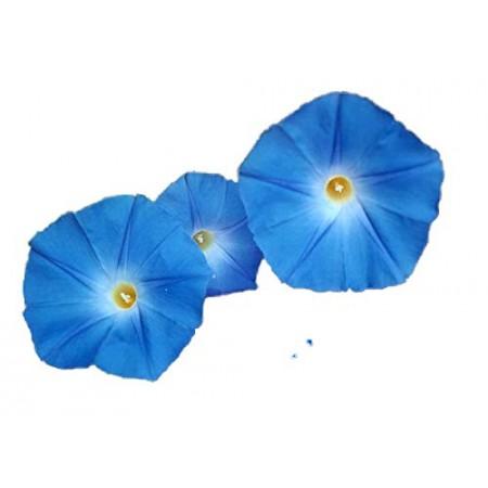 Blaue Prunkwinde -Ipomea tricolor- 10.000 Samen