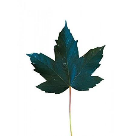 Berg Ahorn -acer pseudoplatanus- 50 Samen