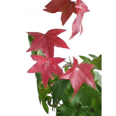 Amberbaum -Liquidamber styraciflua- 50 Samen