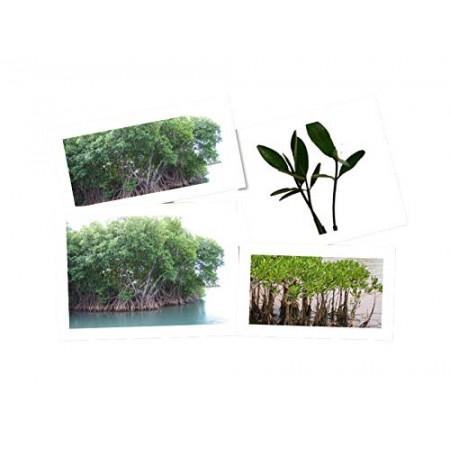 Rote Mangrove -Rhizophora mangle- 2 Pflanzen