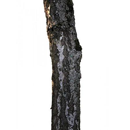 Birke -Betula Pendula- 1000 Samen