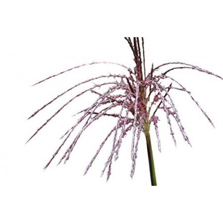 Chinaschilf -Miscanthus chinensis-  ca 200 Samen