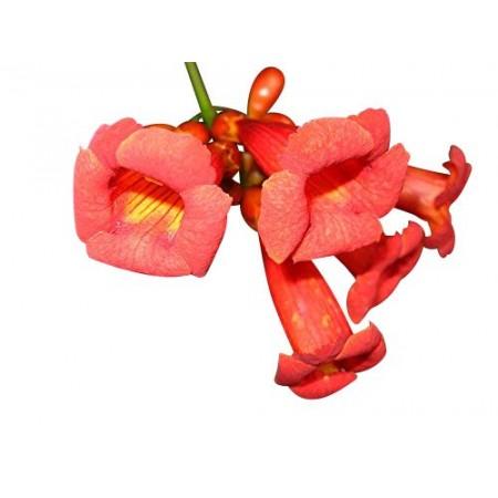 Amerikanische Klettertrompete (Campsis radicans) 10 Samen
