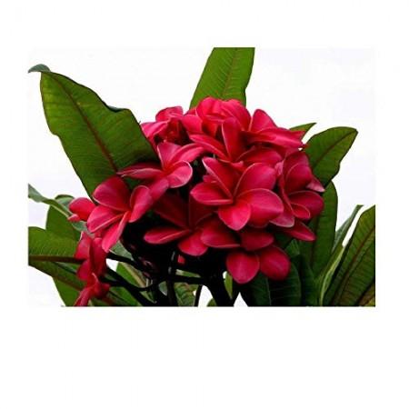 1 x Plumeria Pflanze (Überraschungs Blüten Farbe)