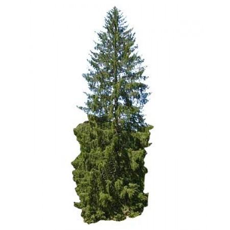 Gemeine Fichte -Picea abies- 1 kg Samen