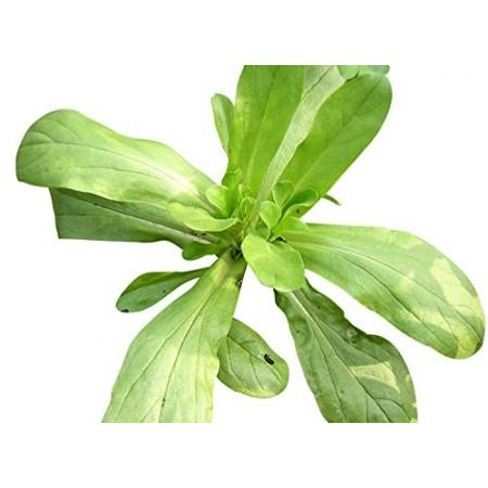 Feldsalat -Valerianella locusta- 200 Samen