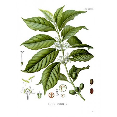 Arabischer Kaffee -Coffea arabica- 5 Samen