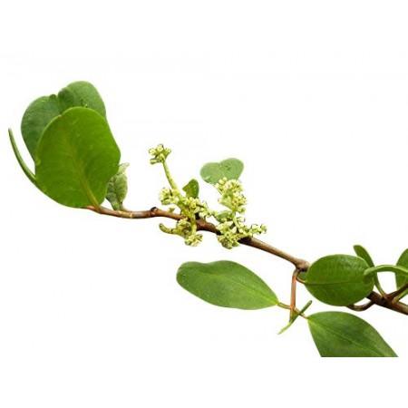 Weiße Mangrove -Laguncularia racemosa - 3 Samen