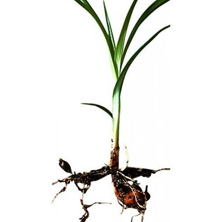 Erdmandel -Cyperus esculentus- 25 Samen/Knollen