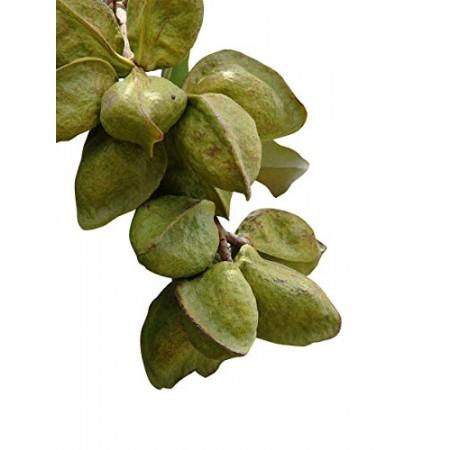 Spiegelmangrove -Heritiera littoralis- 1 Samen