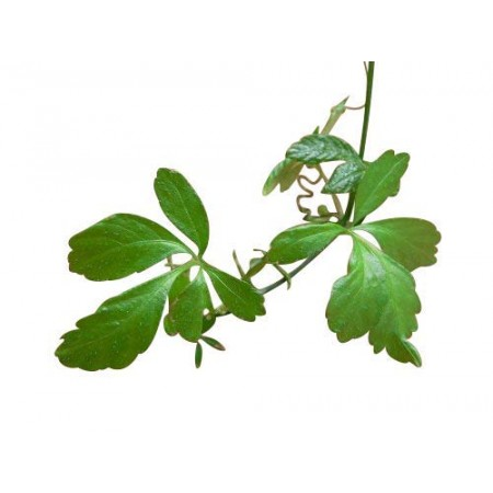 Jiaogulan -Gynostemma pentaphyllum- 25 Samen