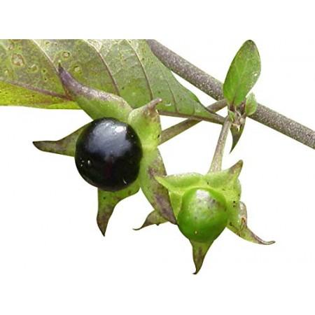Schwarze Tollkirsche -Atropa belladonna- 5000 Samen