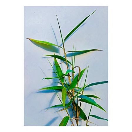 Blaugrüner Bambus -Fargesia papyrifera- 15 Samen
