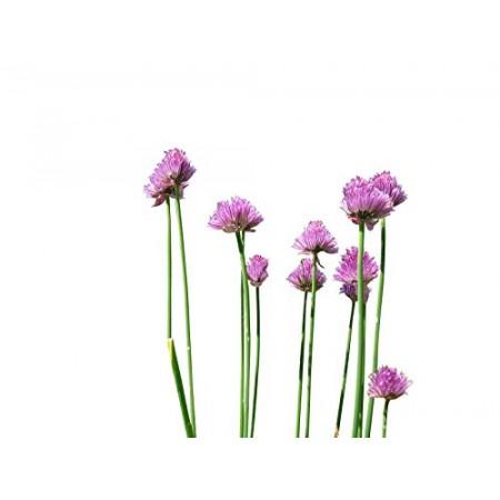 Schnittlauch 250 Samen -Allium schoenoprasum-