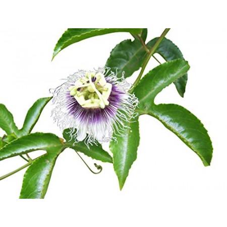 Echte Passionsblume -Passiflora edulis- 1000 Samen