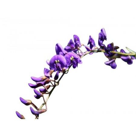 Australischer Blauregen -hardenbergia comptoniana- 10 Samen