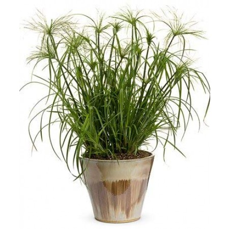 Echter Papyrus cyperus papyrus- 30 Samen