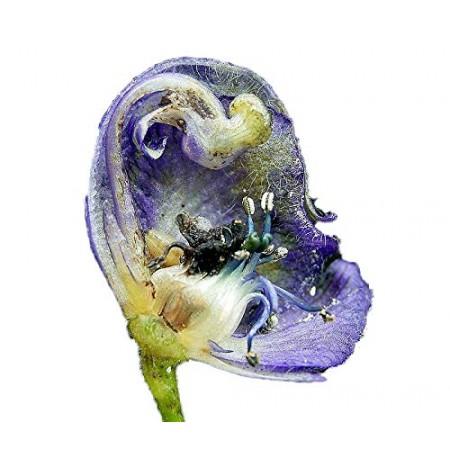 Echter Blauer Eisenhut -Aconitum napellus- 50 Samen