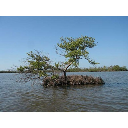 Schwarze Mangrove -Avicennia germinans- 1 Samen