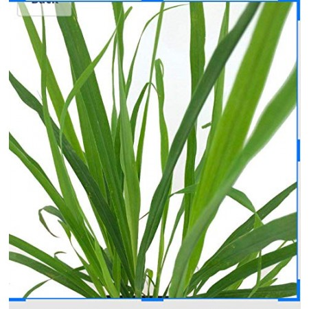 Zitronengras -Cymbopogon citratus- 100 Samen
