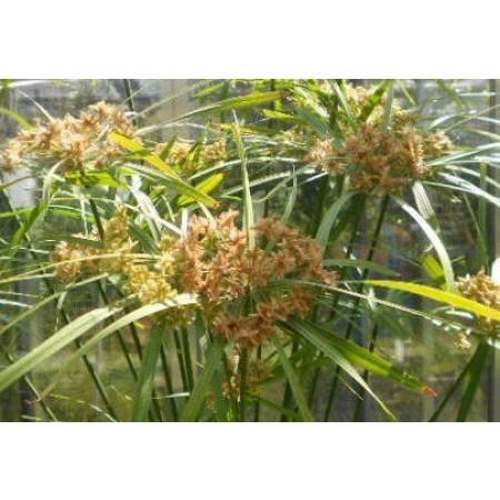 Freiland-Zyperngras -Cyperus glaber- 10.000 Samen