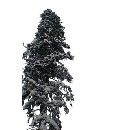 Nordmanntanne -Abies nordmanniana- 1 kg Samen