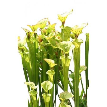 Gelbe Schlauchpflanze -Sarracenia flava- 10 Samen