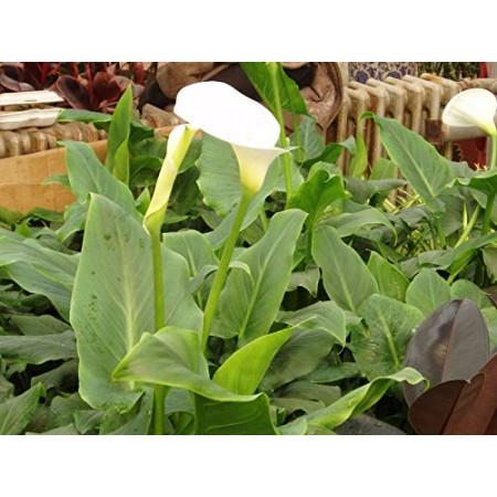 Calla Zantedeschia aethiopica- 10 Samen