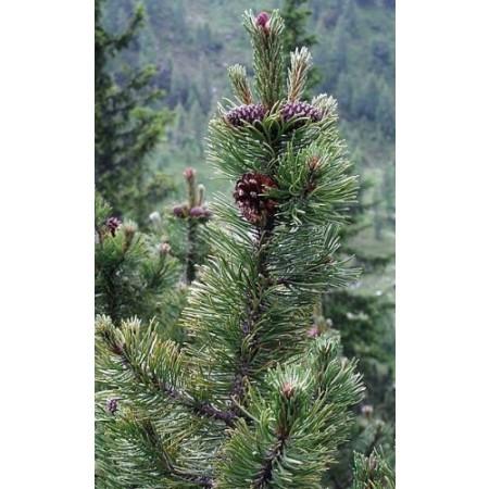 Bergkiefer -Pinus mugo- 10 Samen