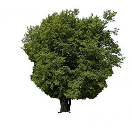 Hainbuche -Carpinus betulus- 25 Samen