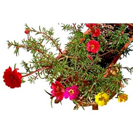Portulakröschen -Portulaca grandiflora- 5000 Samen