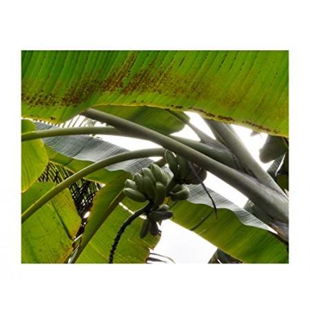 Essbare Blaue Banane -musa itinerans- 10 Samen