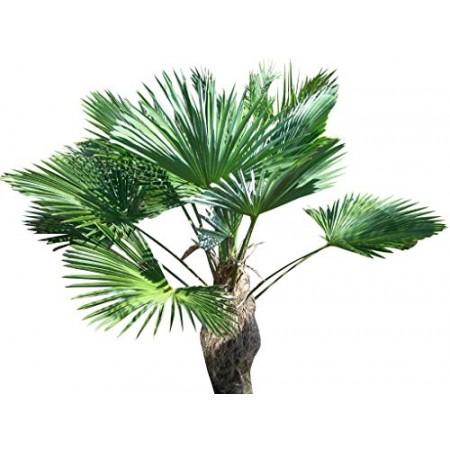 Pflanze Wagner's Hanfpalme -Trachycarpus wagnerianus-