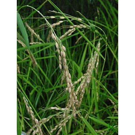 Echter Reis -Oryza sativa ssp. japonica- 100 Samen