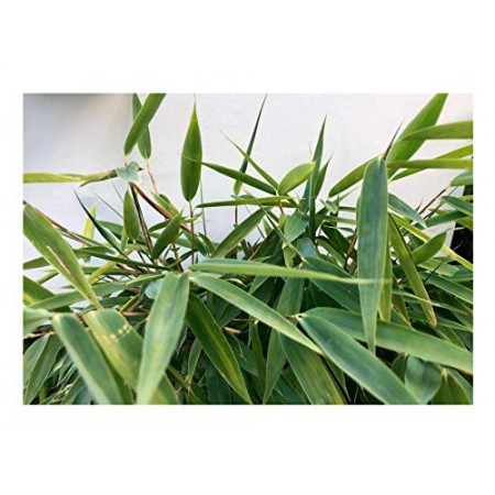 Bambus -Fargesia fungosa- 15 Samen