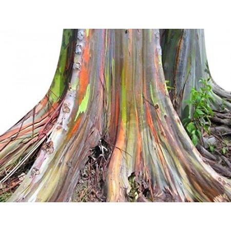 Regenbogen Eucalyptus -Eucalyptus deglupta- 5.000 Samen