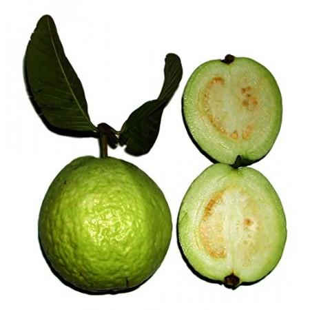 Echte Guave -Psidium guajava- 10 Samen