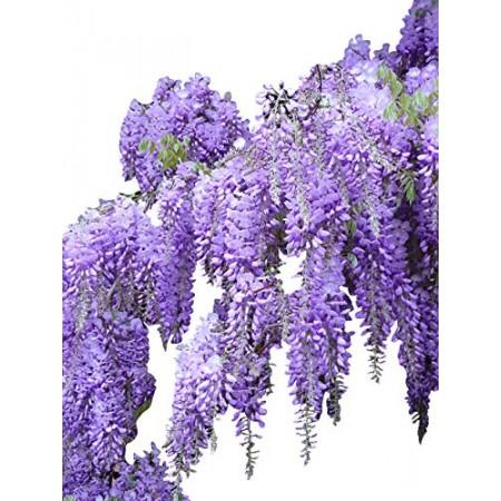 Blauregen -Wisteria sinensis- 1 kg Saatgut