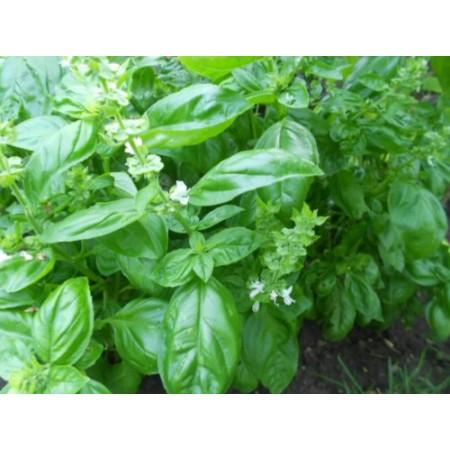 Basilikum -Ocimum basilicum- 100 Samen