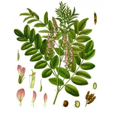 Süßholzpflanze, Lakritze -Glycyrrhiza glabra- 100 Samen