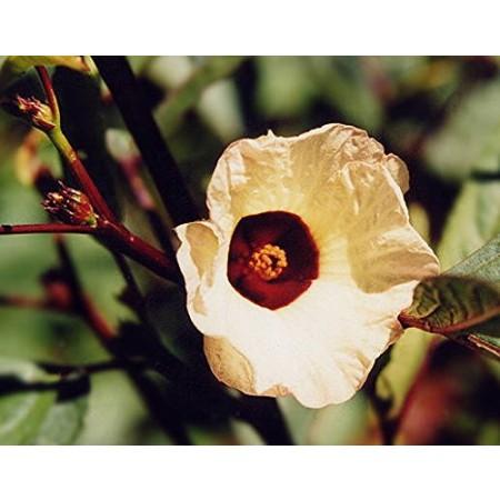 Afrikanische Malve -hibiscus sabdariffa- 10 Samen