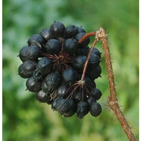 Sibirischer Ginseng , Taigawurzel -Eleutherococcus senticosus- 50 Samen
