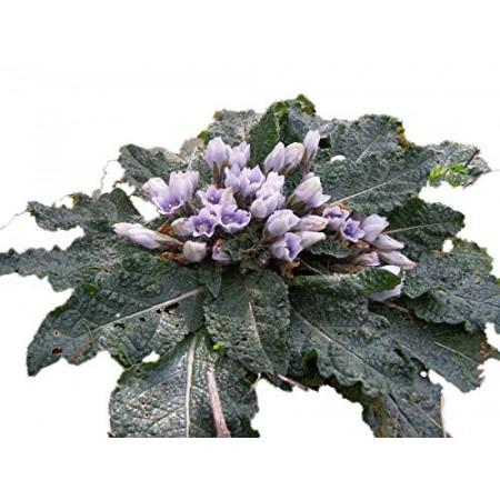 Gemeine Alraune -Mandragora officinarum- 5 Samen