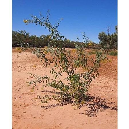 Baum Tabak -Blaugrüner Tabak- -Nicotiana glauca- 50 Samen