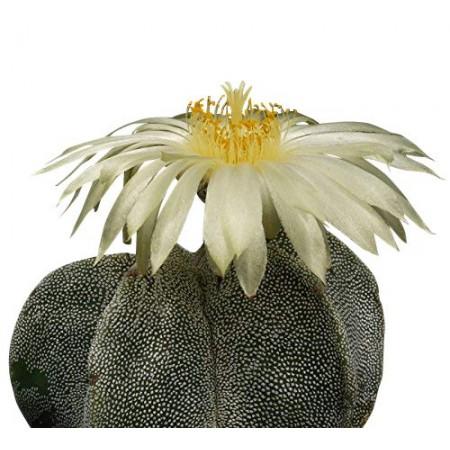 Kaktus -Bischofsmütze- -Astrophytum myriostigma- 25 Samen