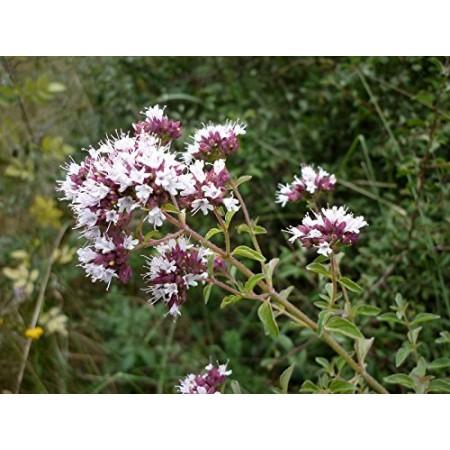 Italienischer Oregano -Origanum vulgare- 150 Samen