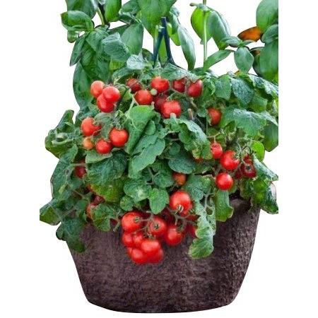Busch-Tomate -Red Robin- 10 Samen