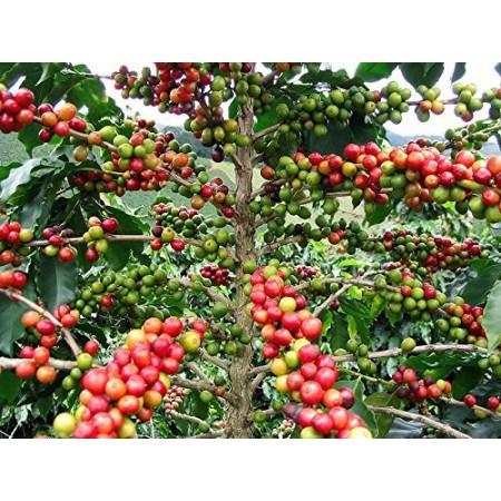 Arabica Kaffee- -Coffea arabica- 1.000 Samen