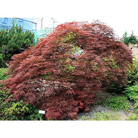 Blutfächer-Ahorn -Acer palmatum-atropurpureum- 5000 Samen